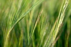 Wheat Stock Photography