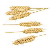 Wheat cereal spikes set 5 isolated on white background. As package design element Stock Images