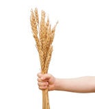 Wheat in children hand Royalty Free Stock Photos