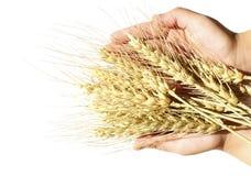 Wheat in children's hands. Golden wheat Stock Image