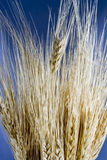 Wheat close. Close up of wheat grain on blue background Stock Photos