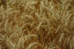 Wheat. Close, background Royalty Free Stock Image