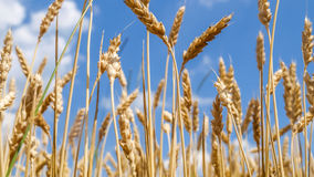 Wheat close before harvest Royalty Free Stock Photography