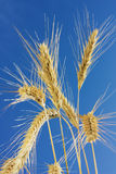 Wheat close-up. Closeup photo of golden wheat against a clear blue sky Stock Photography
