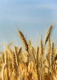 Wheat close-up Stock Photos