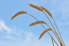 Wheat close-up Stock Photography