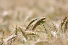 Wheat close-up. Close up of wheat in the cultivated field Stock Image