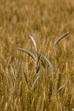 Wheat Close Up. Close-up of some ears of wheat taller than the mass around.Wheat is one of the oldest known crops royalty free stock photo