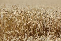 Wheat close up Royalty Free Stock Photography
