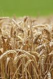 Wheat close up Stock Image