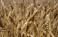 Wheat - Close up. This close up of a wheat field in New Jersey may be suitable for use as a background image in topics related to agriculture, farming, grain Royalty Free Stock Images