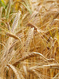 Wheat close up. Close up of wheat growing in the field Royalty Free Stock Photo