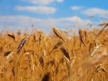 Wheat close-up. Golden wheat field at the shiny day stock photography