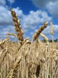 Wheat close-up Royalty Free Stock Image