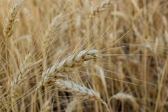 Wheat  close-up Stock Photo