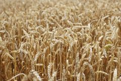 Wheat close up on farm field Stock Images