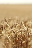 Wheat close up on farm field Royalty Free Stock Images