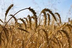 Wheat. Close up of a  field Royalty Free Stock Images