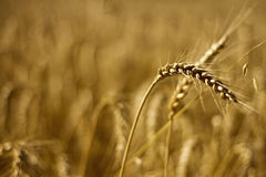 Wheat. Close up of a  field Royalty Free Stock Photos