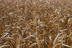 Golden Wheat field. Close-up of a field of wheat Stock Photos