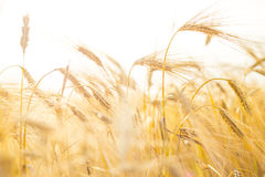 Wheat close-up. Royalty Free Stock Photography