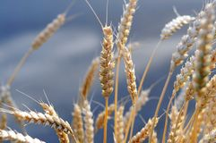 Wheat close up. Close up of golden wheat ears on summer day royalty free stock photo
