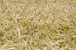 Wheat. Close up of a golden wheat growing in a farm field Royalty Free Stock Photography