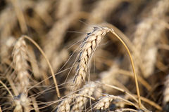 Wheat close up Stock Images
