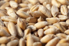 Wheat, close up Royalty Free Stock Photography