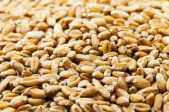 Wheat  close up Royalty Free Stock Photo