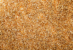 Wheat , close up Royalty Free Stock Images