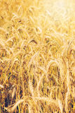 Wheat close-up Royalty Free Stock Photos