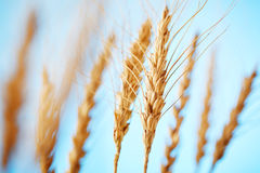 Wheat close-up Royalty Free Stock Photo
