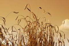 Wheat close up view with sky toned in sepia Royalty Free Stock Image