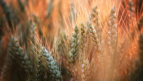 Wheat close-up stock video