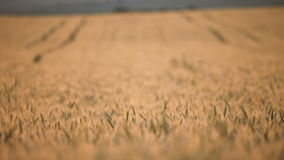 Wheat close-up stock footage
