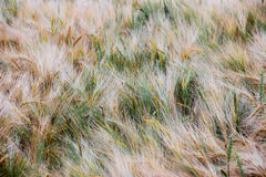 Wheat - Close up of a wheat field.Golden Ripe Wheat Field, Sunny day Stock Images
