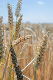 Wheat - Close up of a wheat field. Stock Images