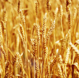 Wheat closeup. Field of wheat close up Royalty Free Stock Photo