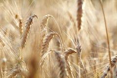Wheat closeup Stock Photo