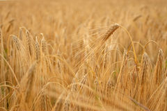 Wheat closeup. Golden wheat growing in a farm field, closeup on ears Stock Photo