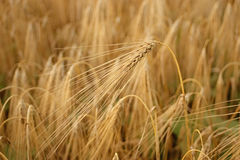 Wheat closeup. Golden wheat growing in a farm field, closeup on ears Royalty Free Stock Photography