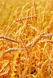 Wheat closeup. Stock Photo