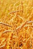 Wheat Closeup. Stock Photo