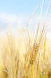 Wheat closeup Stock Images