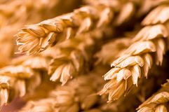 Wheat Closeup. A nice background with wheat closeup Royalty Free Stock Photography