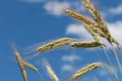 Wheat closeup Royalty Free Stock Images