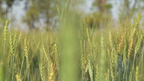 Wheat closeup, with local man passing through field with hoe on his back. stock footage