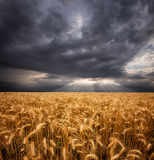 Wheat and Clouds Royalty Free Stock Photo