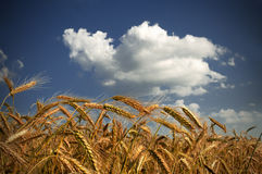 Wheat and clouds Royalty Free Stock Image